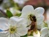 wisnia pobieranie nektaru.