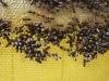 Plaster z pszczołami.