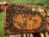 Pięknie zaczerwiony plaster pszczeli.