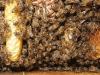 sierpien_pszczoly013