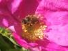 Róża omszona